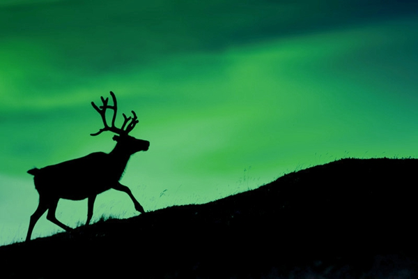 northern-norway-reindeer-silhouette-against-aurora-borealis-istk_副本.jpg